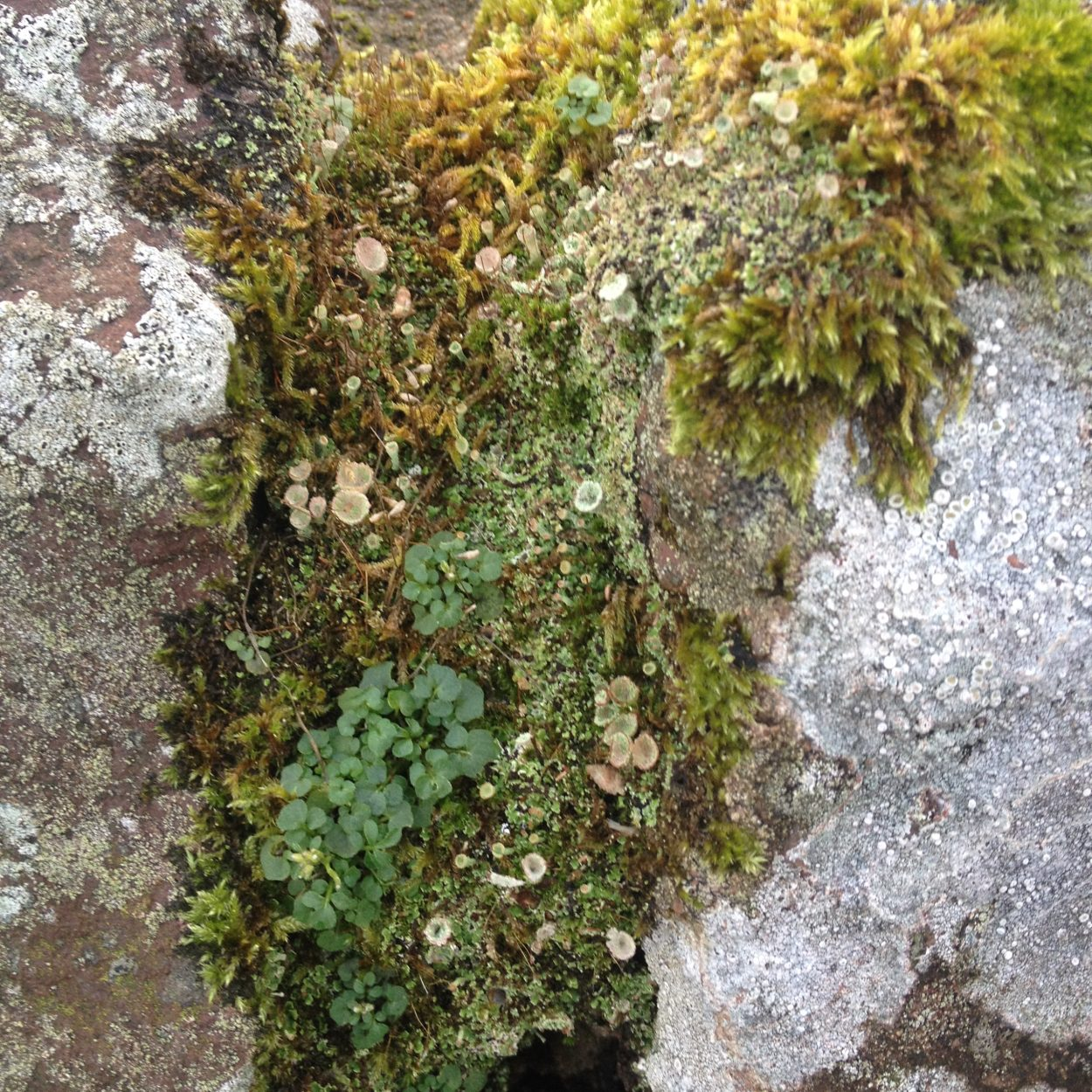 Moss on Scottish rocks