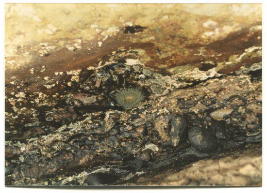 Photo of a sea anenome in a tidepool