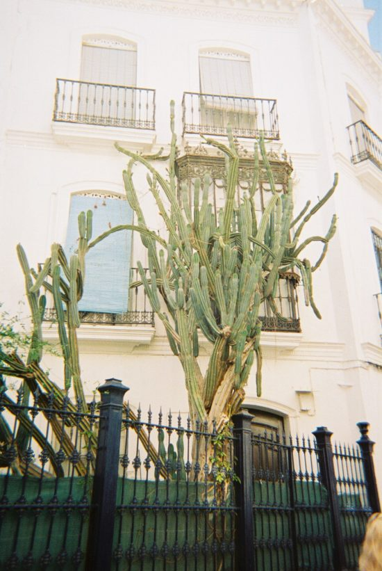 Photo of a large cactus in Seville, taken by Piper Haywood