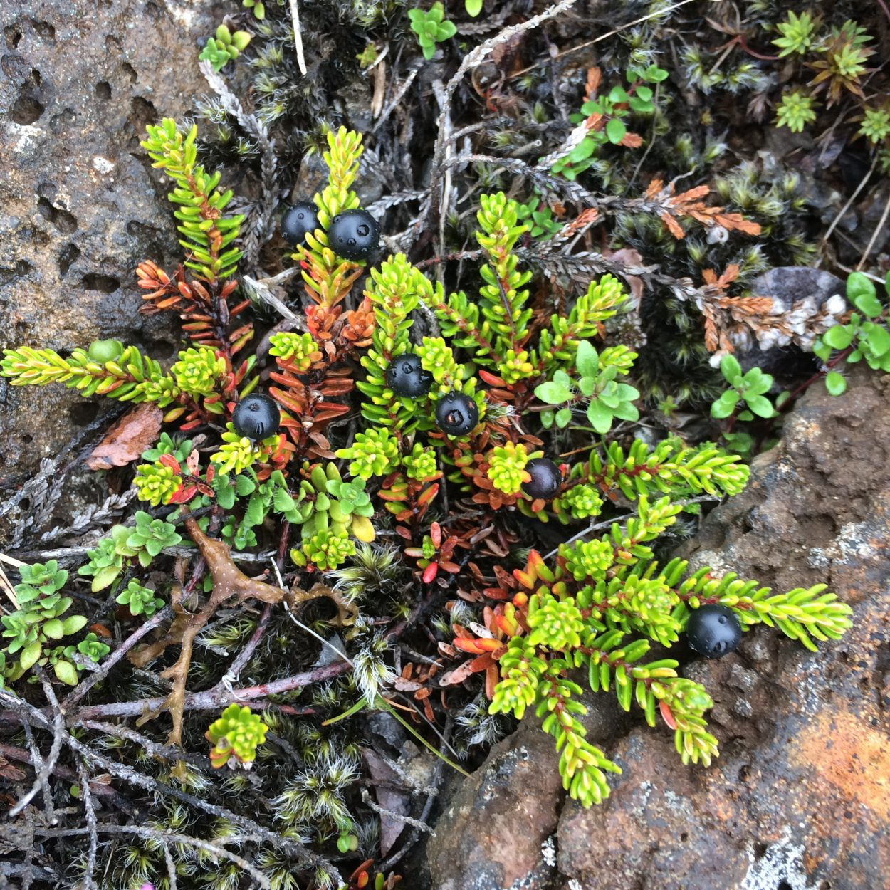 Photo of Crowberry (Empetrum nigrum) off of Þingvallavegur near Öxarárfoss