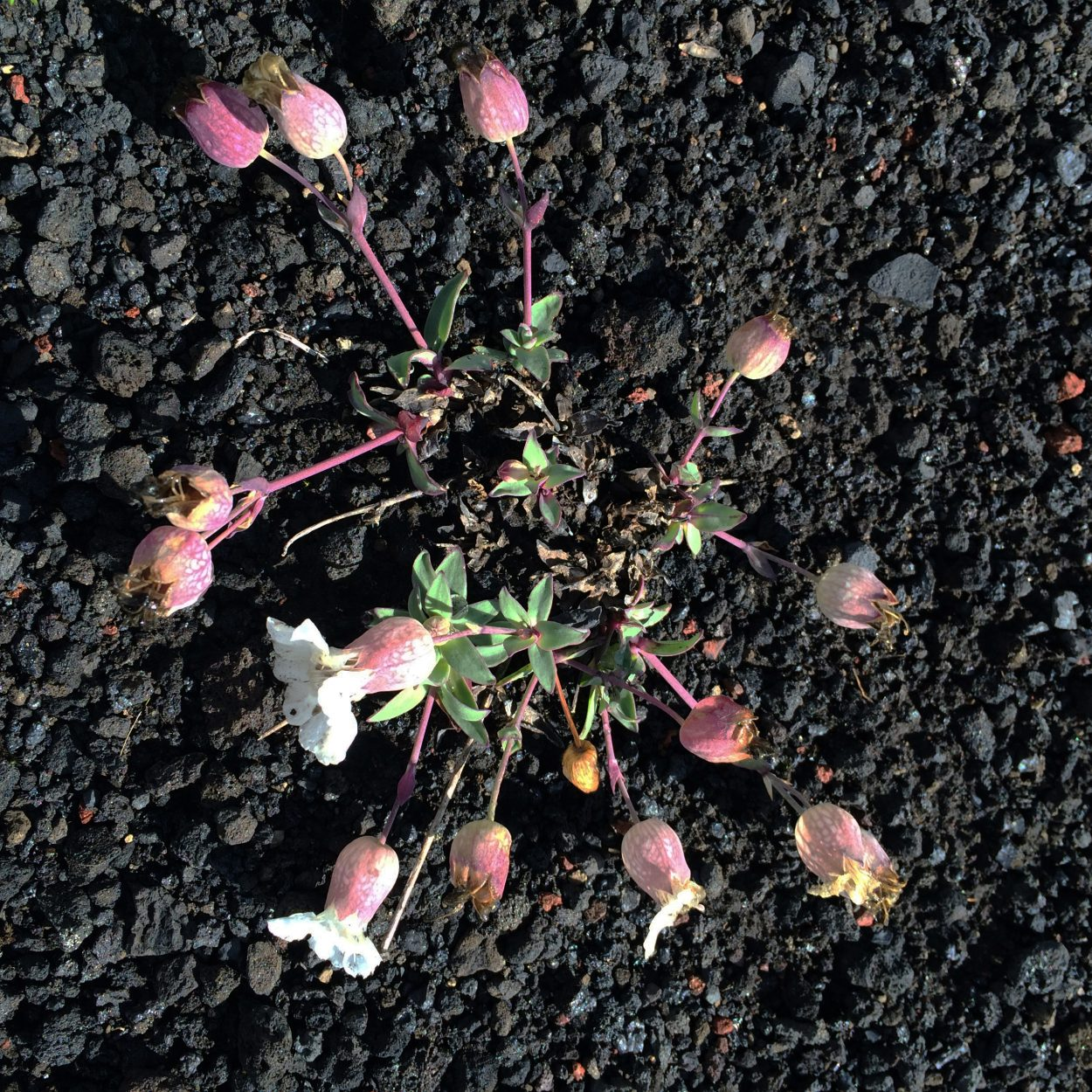 Photo of Sea campion (Silene uniflora) in flower off of Landmannaleið near Hekla