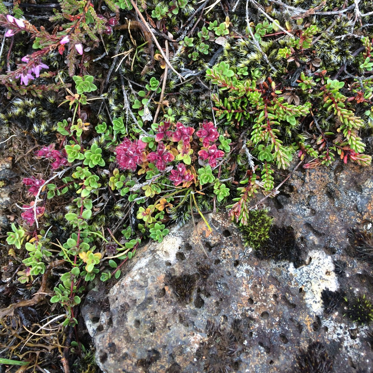 Photo of Wild thyme (Thymus praecox ssp. arcticus) off of Þingvallavegur near Öxarárfoss