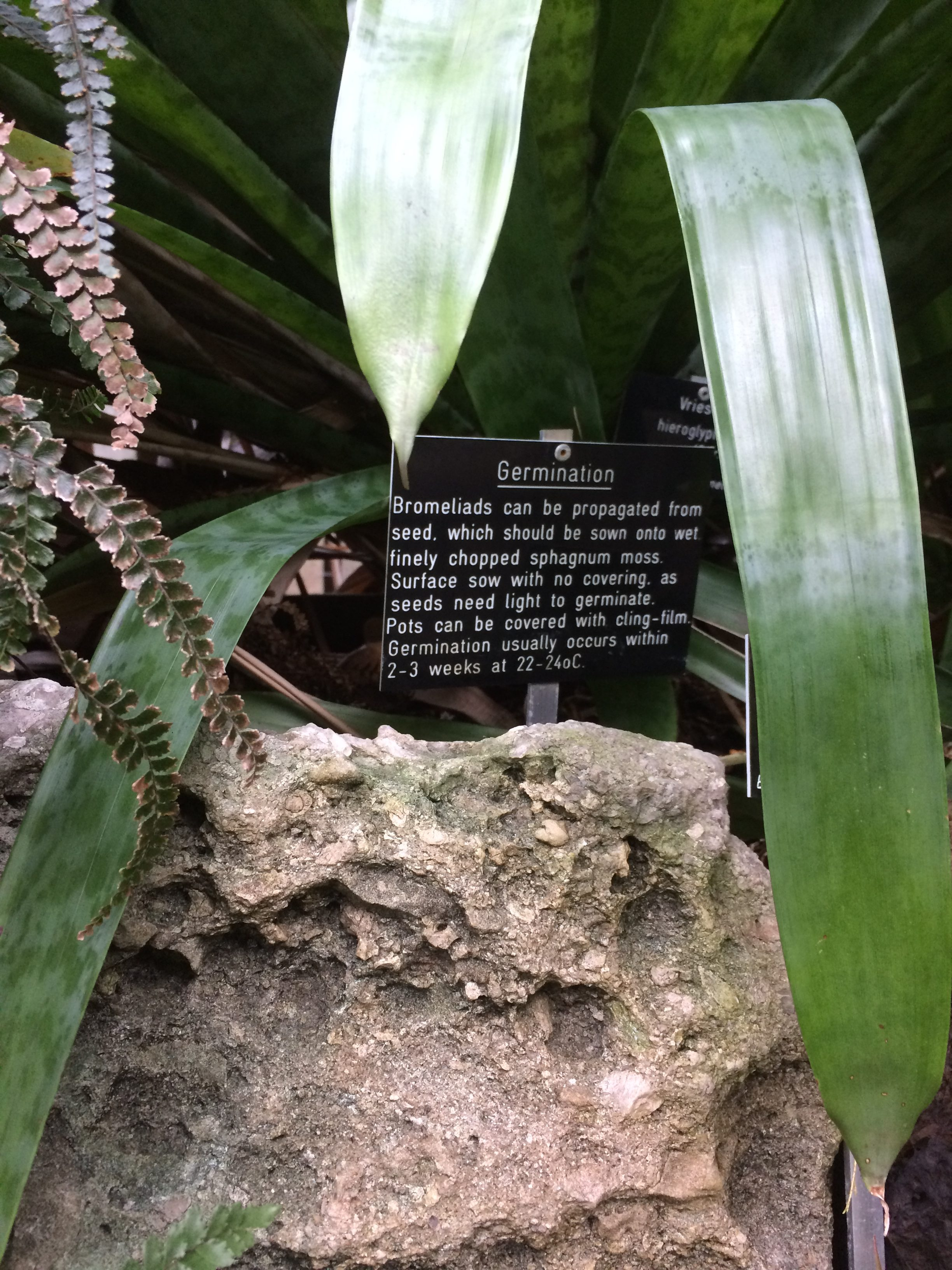 Bromeliad germination advice from Glasgow Botanic Gardens