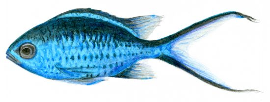 A graphite, coloured pencil, and highlighter drawing of a Blue Chromis