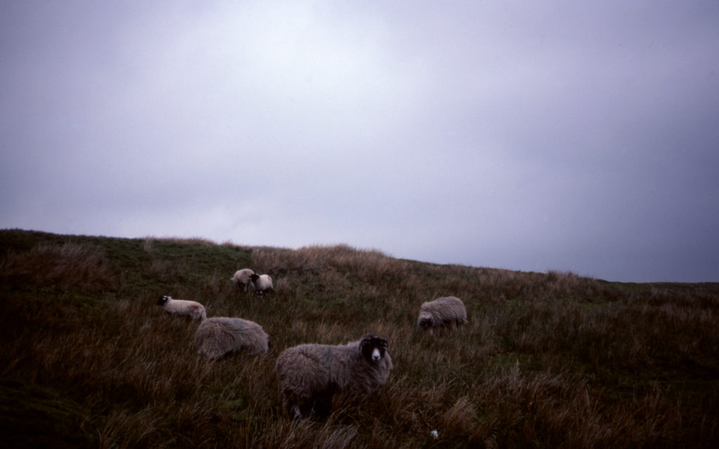 Sheep on the moor in Yorkshire, photo taken by Bradley and Jean Piper
