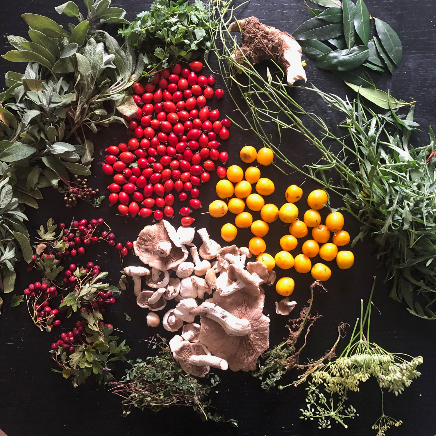 Results of foraging in east London on 31 August including: sage, salad burdock, horseradish, sweet basil, rocket, fennel, pineapple weed, Mirabelle plums, rosehips, Poplar mushrooms, thyme, and Hawthorne berries