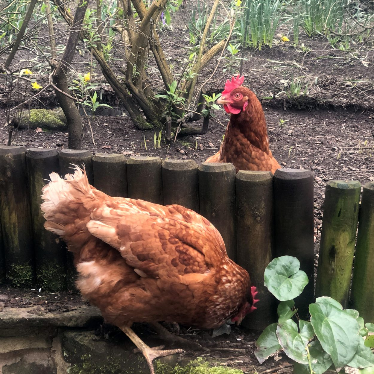 Brown hens in a back gardens in West Yorkshire