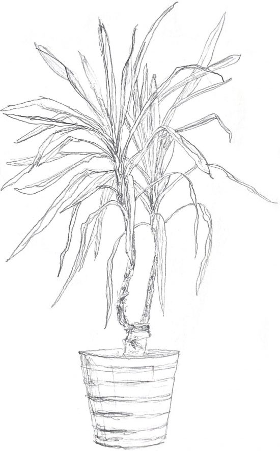 Drawing of a dracaena