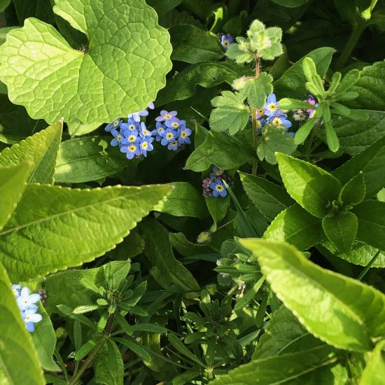 Forget-me-nots in a spring field