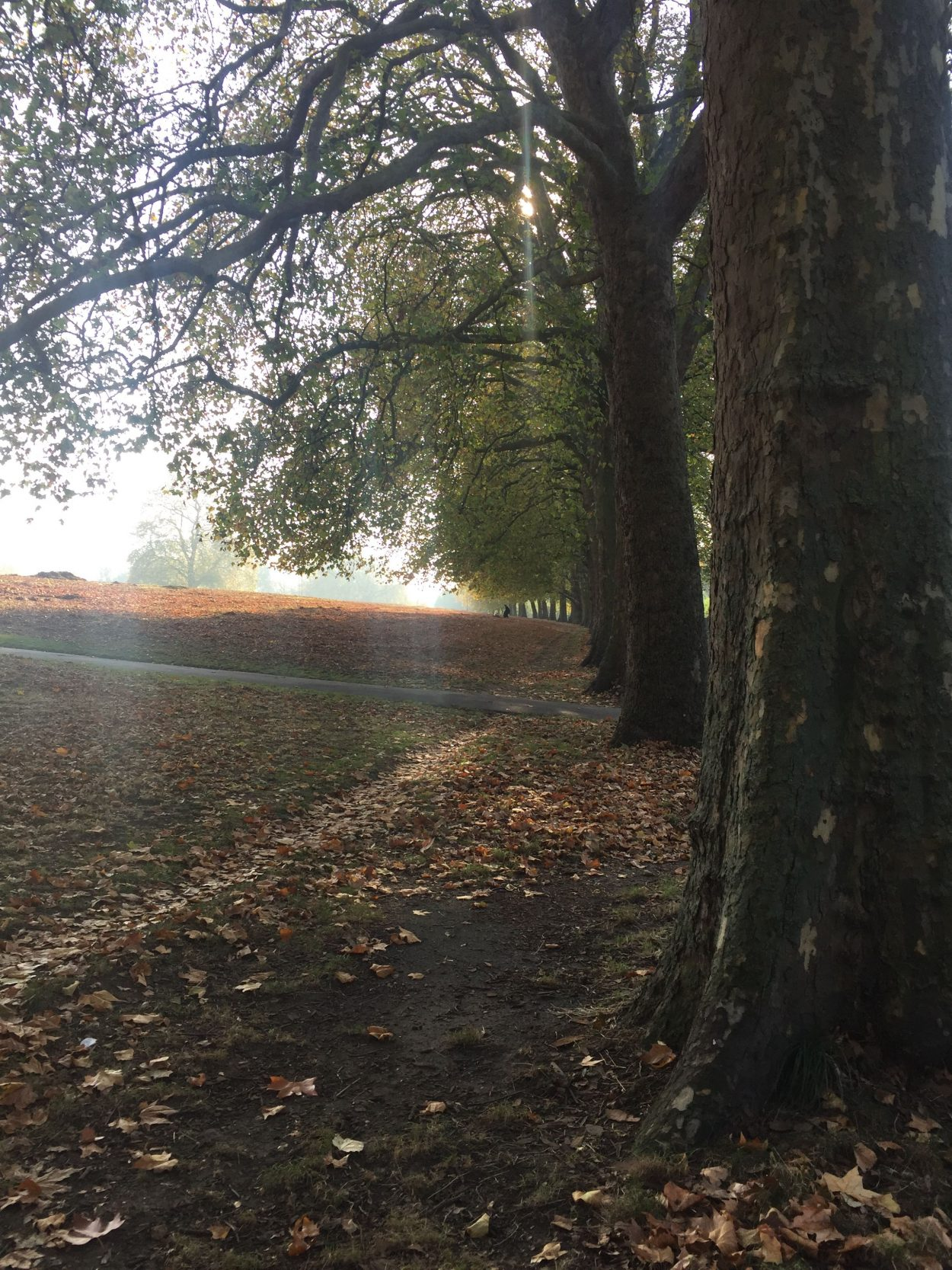 The plane trees in Hackney Downs in London losing their leaves