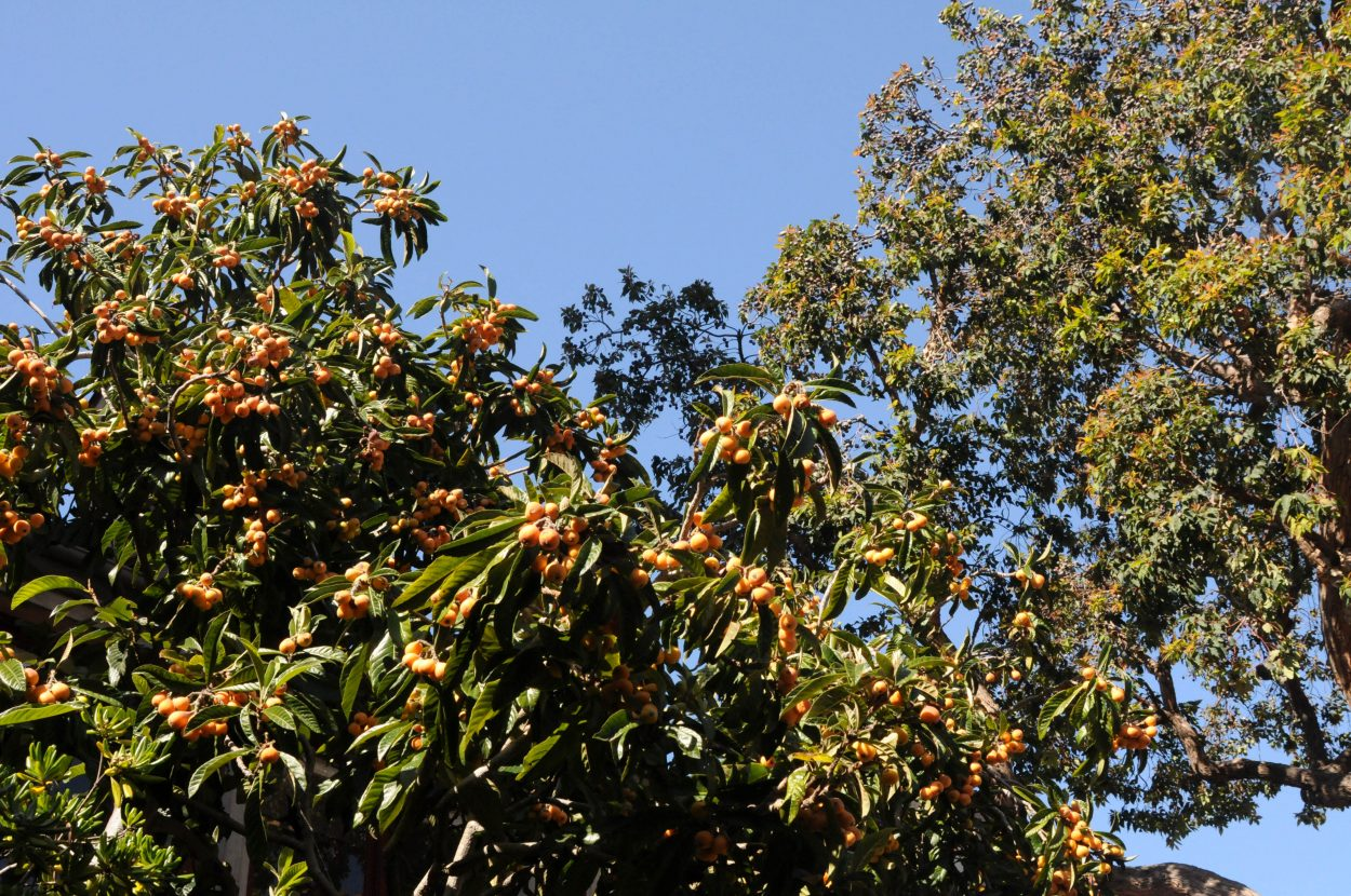 Loquat tree in the Spanish courtyard at SFAI