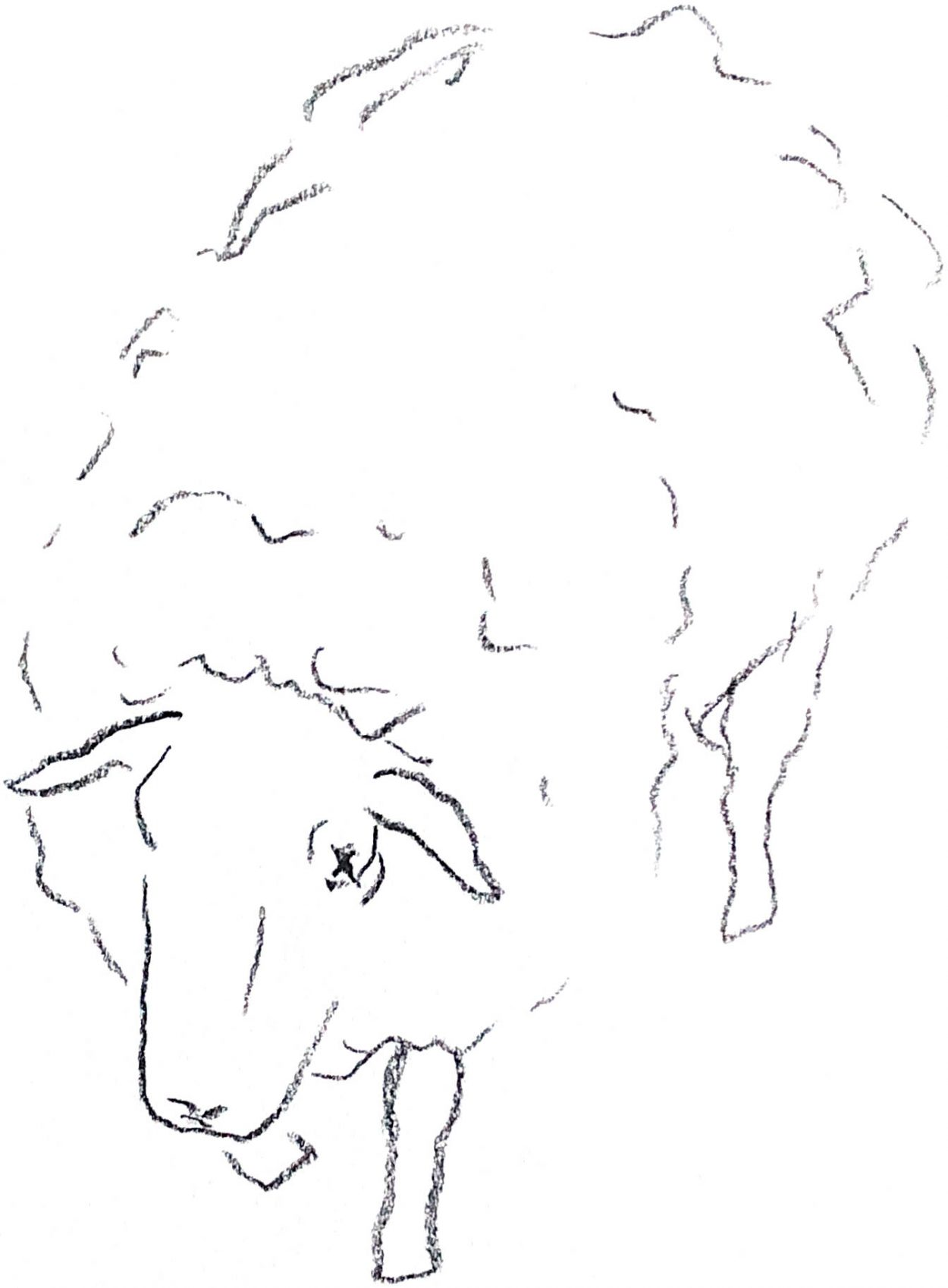 Charcoal sketch of a sheep