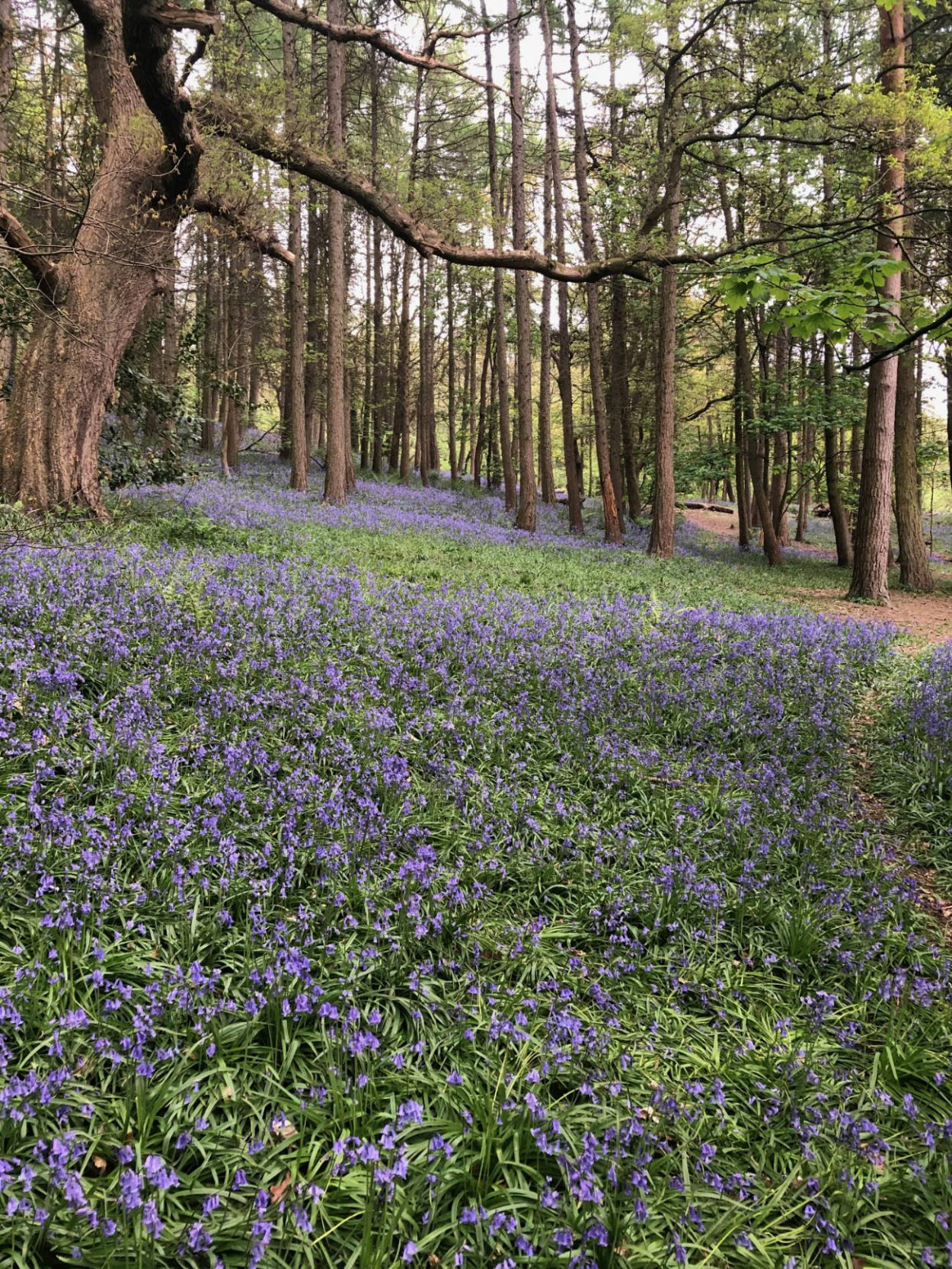 Bluebells covering the forest floor in Middleton Woods