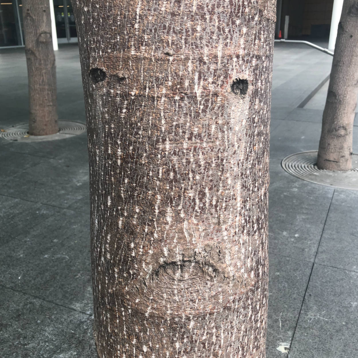 A face in the trunk of a smooth-barked tree in the middle of a paved square