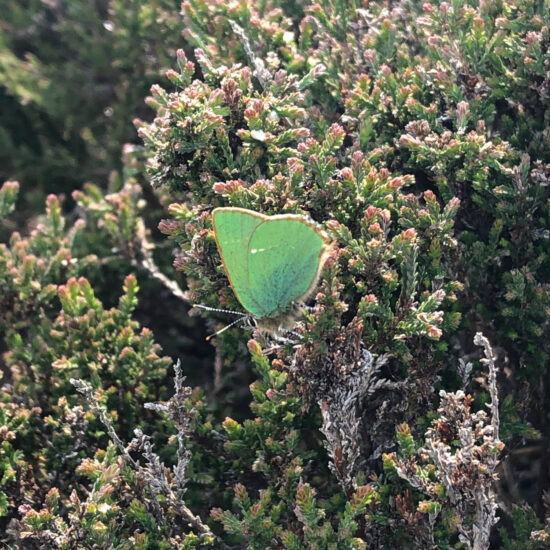 Green hairstreak butterfly on the moors in West Yorkshire