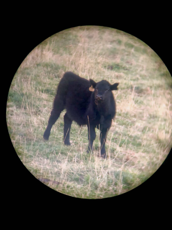 A black cow through binoculars