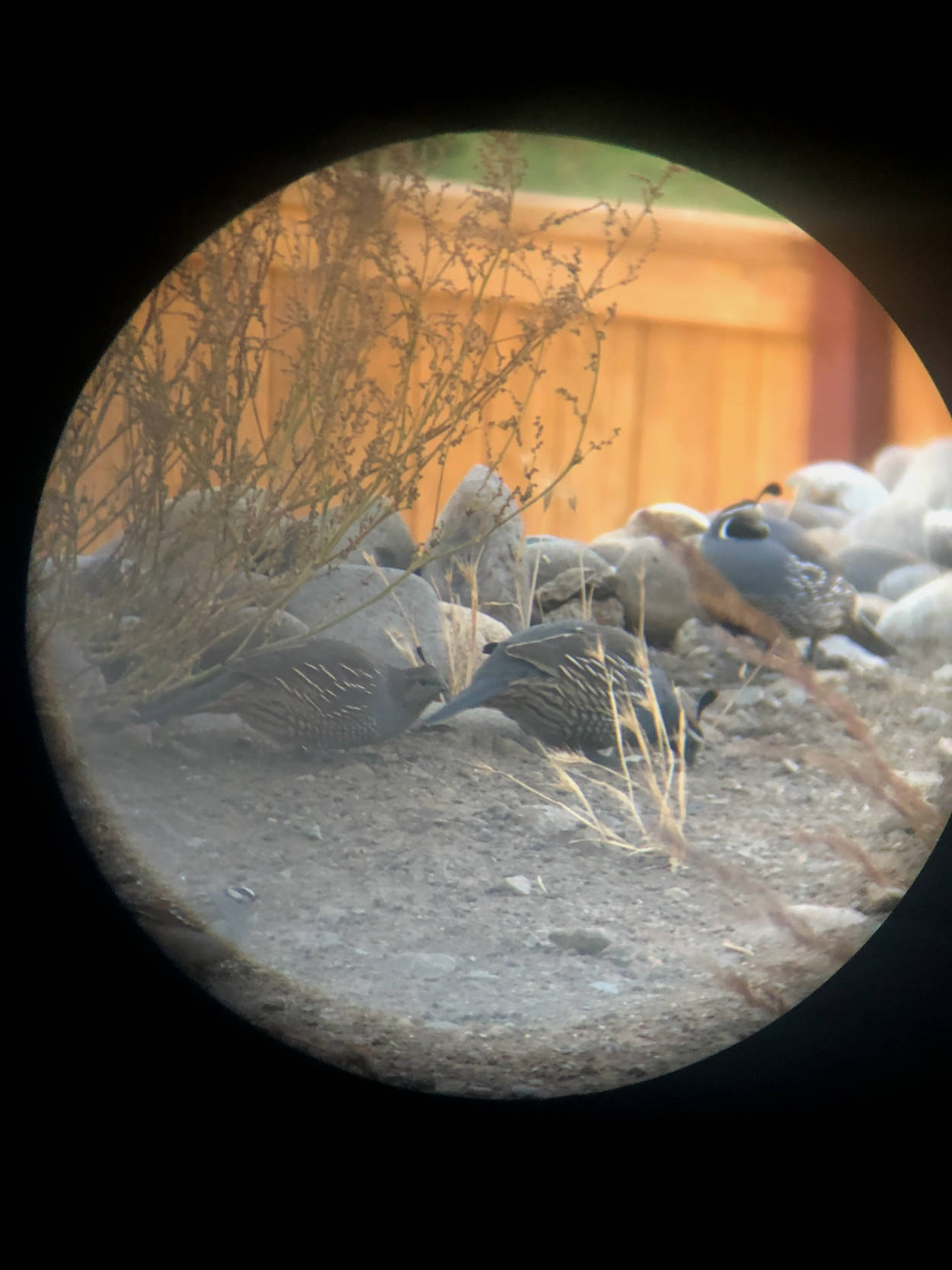 California Quail through binoculars