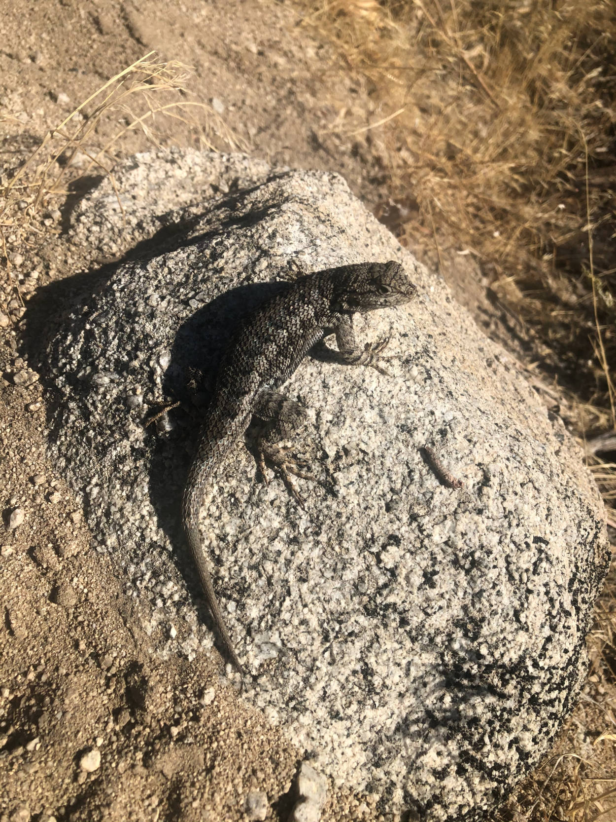 A Western Fence Lizard on a rock in Carson Valley