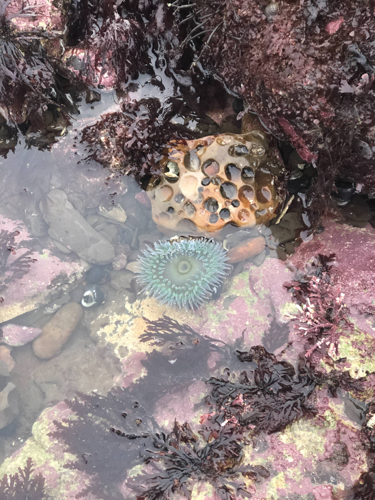 A tide pool at Agate Beach with an anemone