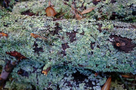 Closeup photo of lichen on a log