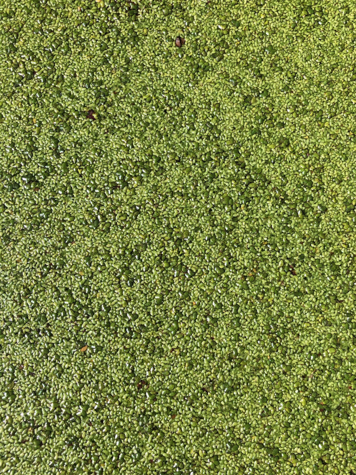 Duckweed covering the surface of a pond