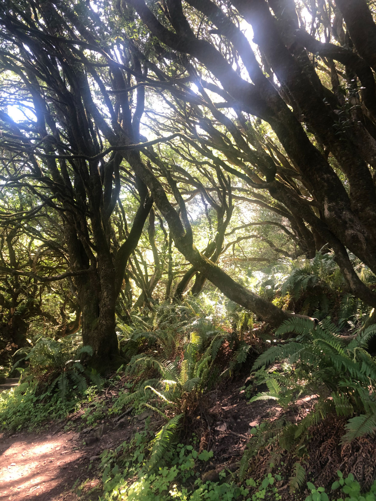 California Bay Laurel trees along Dipsea Trail near Stinson Beach