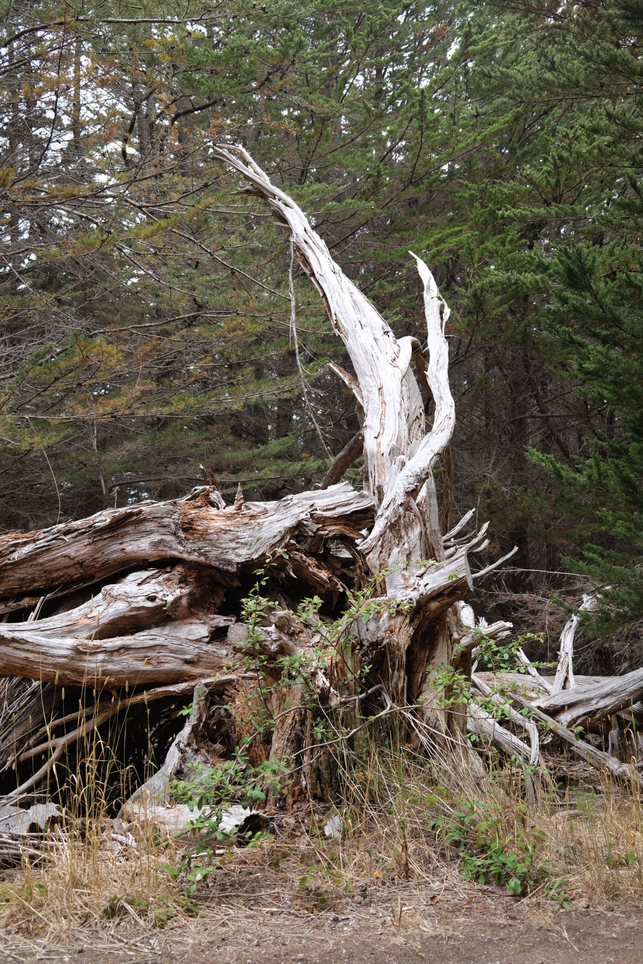 Dried out tree stump in McNee Ranch
